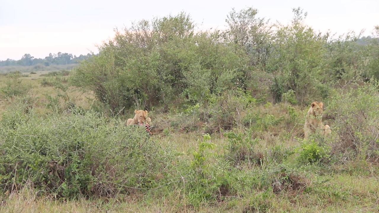 Download Lion-Hyena Interaction over a wildebeest kill
