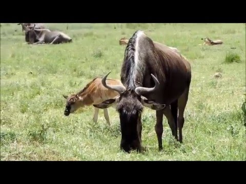 SAFARI IN BIRTHING TIME-NGORONGORO CONSERVATION AREA -TANZANIA  HD