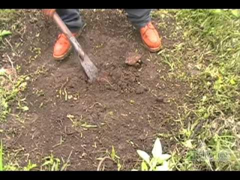 Planting a Paulownia Tree in Silva Tree Panama Plantation (Step 2)