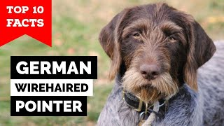 German Wirehaired Pointer  Top 10 Facts