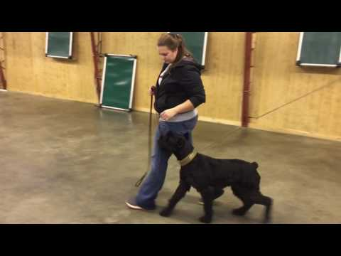 "Giant Schnauzer ""Lola"" 3 Year Old Female Protection Training Dog For Sale"