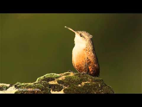 Canyon Wren singing - part 2