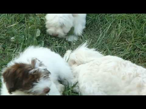 PuppyFinder.com : Three little Havanese Puppies