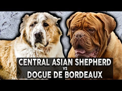 CENTRAL ASIAN SHEPHERD VS DOGUE DE BORDEAUX! The Best Guard Dog Breed For First Time Owners!