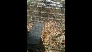 How To Catch A Squirrel/rabbit In A Cage Trap