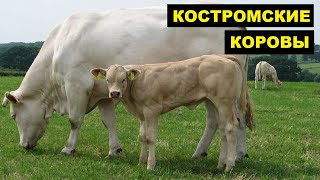 Разведение костромской породы коров как бизнес идея   Костромская корова