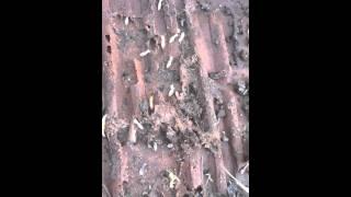 Subterranian Termites Thumbnail