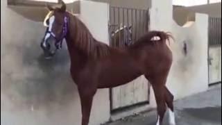 خيول جده مهره عنازة الجنادريه بنت بندر ابن ستدل الحصان العربي