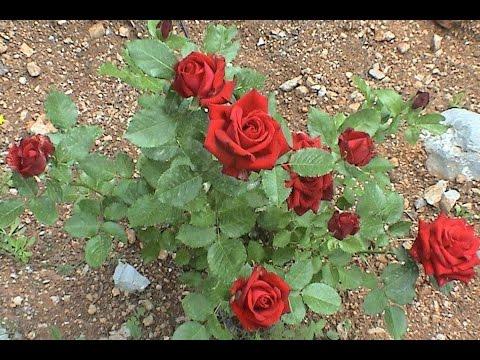 Посадка и уход за красными и белыми розами летом и осенью!