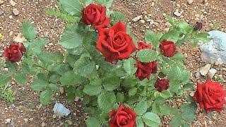 Посадка и уход за красными и белыми розами летом и осенью!(Посадка и уход за красными и белыми розами летом и осенью! - в этом видео я расскажу вам как сажать розы, саже..., 2015-09-27T10:25:38.000Z)