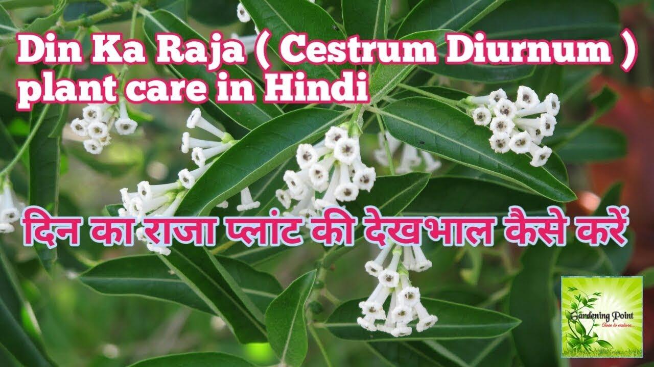 Cestrum diurnum plant care