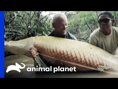 Thumbnail: Monster Arapaima is Your 'Mermaid' of Lore | River Monsters