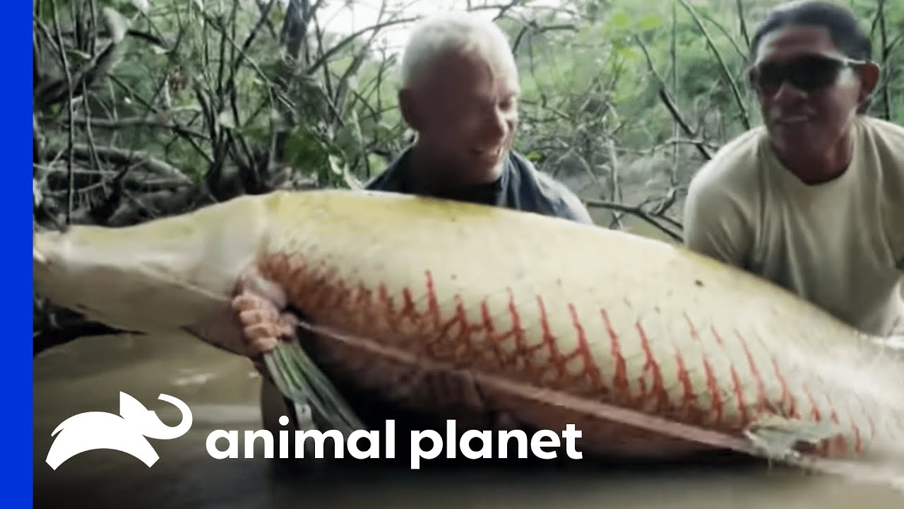 Monster Arapaima is Your 'Mermaid' of Lore   River ...