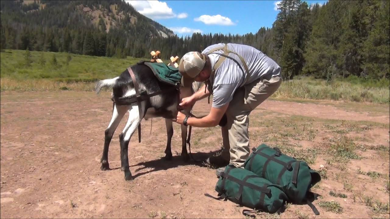 Scouting Mulies w/ MORK the Pack Goat