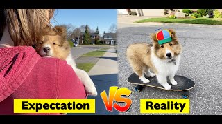 This is NOT the Puppy we EXPECTED!  Cricket (the Sheltie) Chronicles Instagram Collection #6