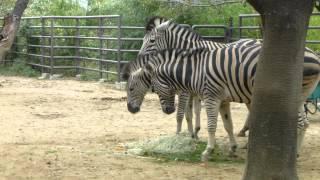 王子動物園のシマウマファミリー。 少し小柄な子は、4月に生まれたチャ...