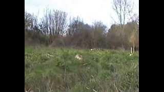 chasse au  renard / super menée sur un dérobard