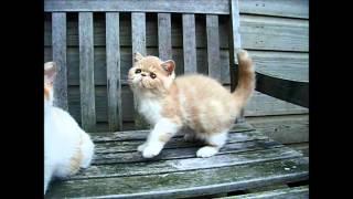Exotic kittens @ 12 1/2 weeks