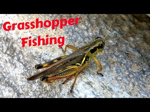 LIVE GRASSHOPPER CATCH AND FISH
