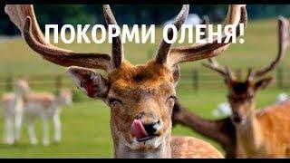 Кормление оленей вкусняшками :)