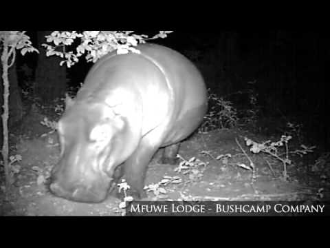 Hippo - Night time camera trap, Mfuwe Lodge, South Luangwa National Park, Zambia