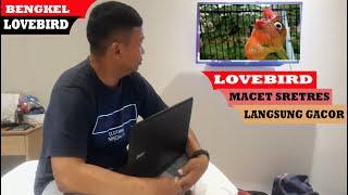 #BENGKELlovebird#carabikingacor LOVEBIRD stres MACET di jamin CEPET gacor LAGI