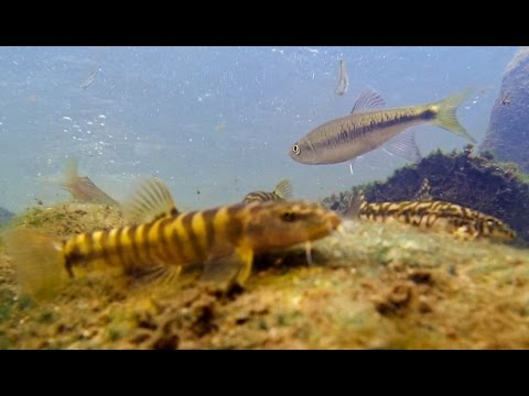 Hong Kong: Lantau Island freshwater stream biotope and fish