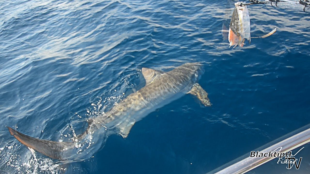 Huge tiger shark caught while drift fishing youtube huge tiger shark caught while drift fishing thecheapjerseys Gallery