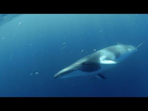 Синие киты возвращаются