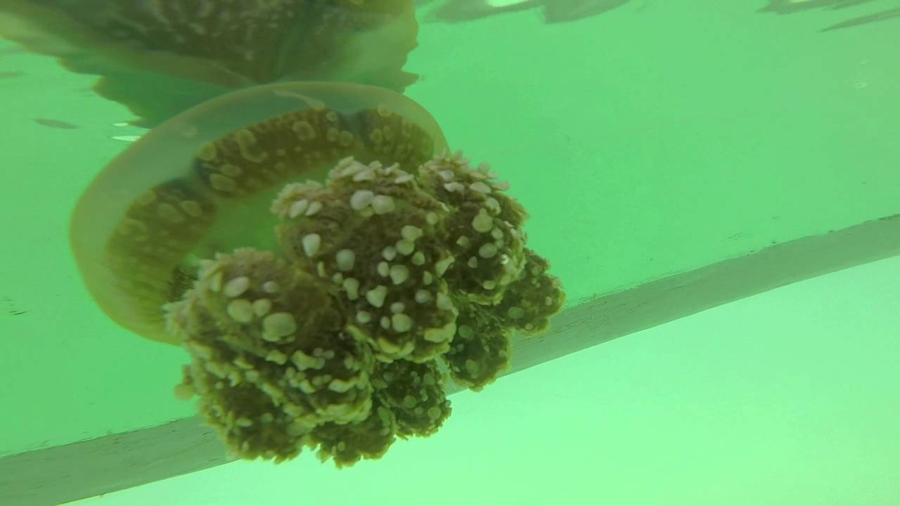 Non-stinging Jellyfish