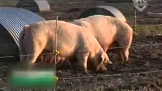 Fakta Ilmiah Mengapa Daging Babi Berbahaya Dikonsumsi