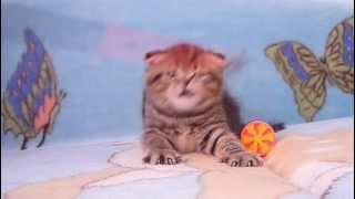 Продаются котята из питомника Файна Киця