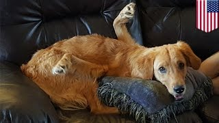 Dog with backwards legs: Rexi the golden retriever suffers from neurological problem - TomoNews