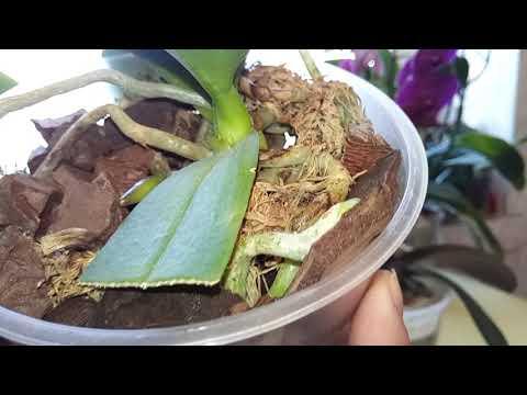 Как определить, что растит орхидея: цветонос, корень или детку