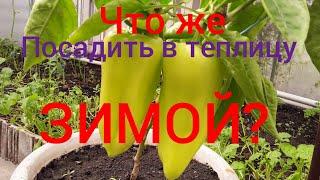 Моя теплица осенью и зимой. Что растет? Что посадить? Эксперимент. #теплица #салат #огурцы