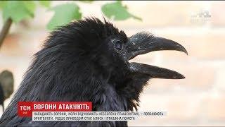 У Києві почастішали напади ворон на людей