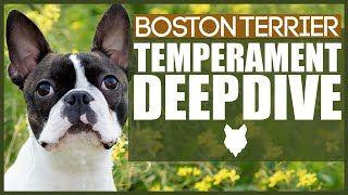BOSTON TERRIER TEMPERAMENT