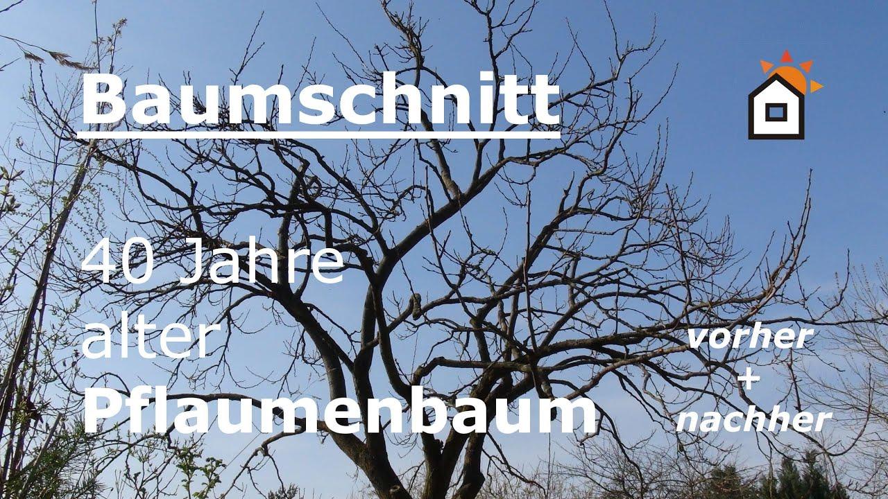 Pflaumenbäume Schneiden baumschnitt pflaumenbaum 40 jahre vorher nachher