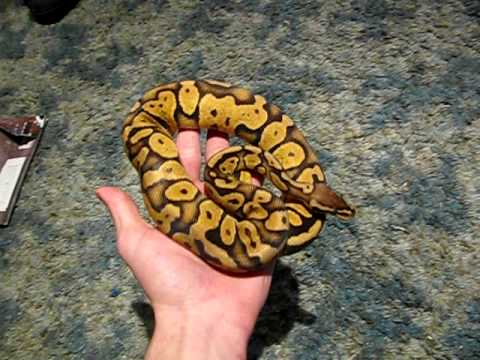 Approaching and Handling Your Ball Python(requested vid)