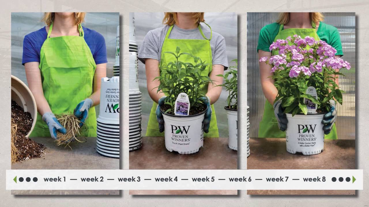 tall garden phlox growing tips from walters gardens - Tall Garden Phlox