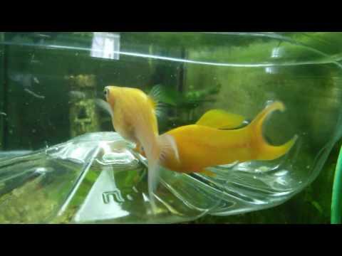 Как спариваются рыбы видео