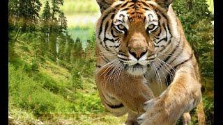 Путешествие по Непалу Джунгли Бенгальские тигры, как бы не сожрали
