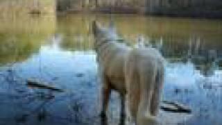 In Memory Of Zeus, Our White German Shepherd