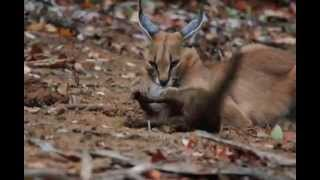 Caracal kills Mongoose in Kruger National Park
