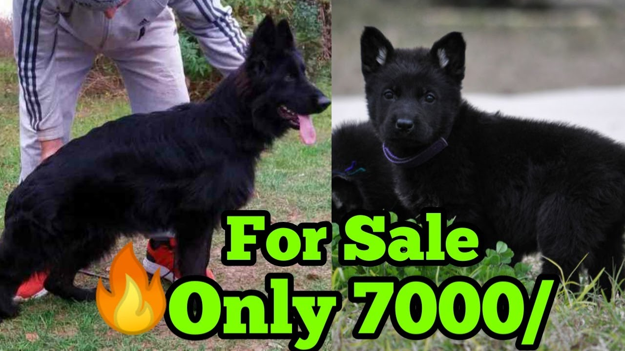Fully Black German Shepherd Dog For Sale only in 7000 German shepherd for sale in low price 