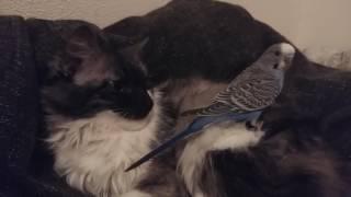 Волнистый попугай Жора пристаёт к кошке