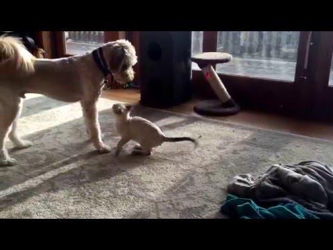 Cat Intimidates Dog
