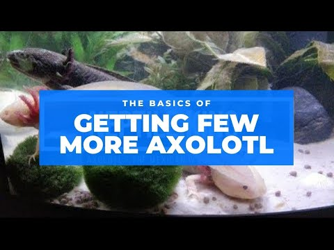 Got Myself Some WATER DRAGONS! - Axolotl ( Mexican Walking Fish) 🐉