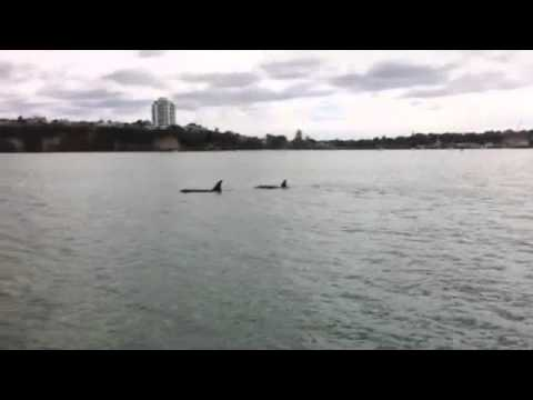 Orca in the Inner Waitemata Harbour, Auckland New Zealand