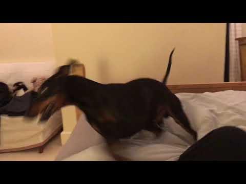 Eric manchester terrier playfight
